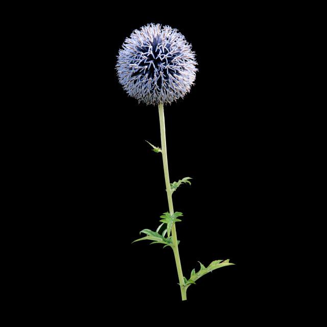 """""""Purple allium flower"""" stock image"""
