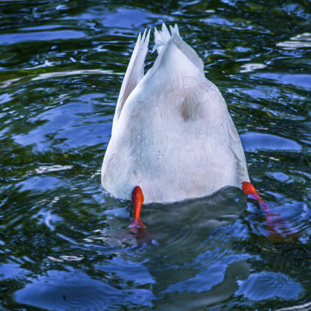 """""""Duck's tail in the air"""" stock image"""
