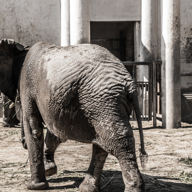 """""""zoo elephant"""" stock image"""