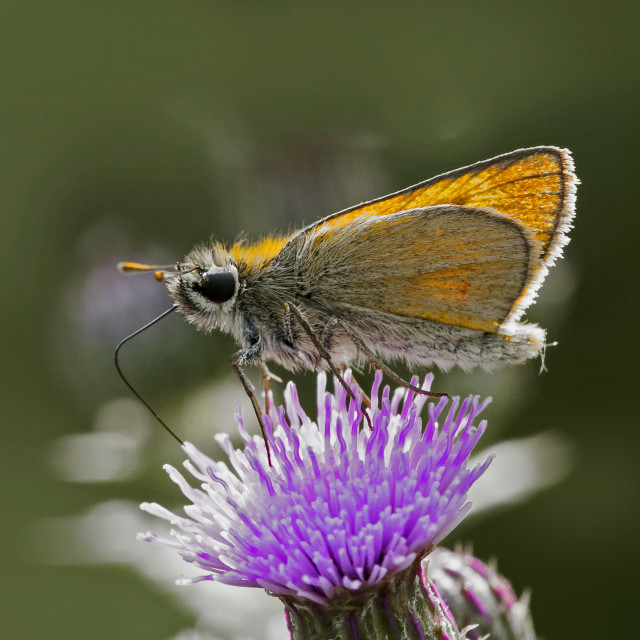 """Essex Skipper (Thymelicus lineola) (IV)"" stock image"
