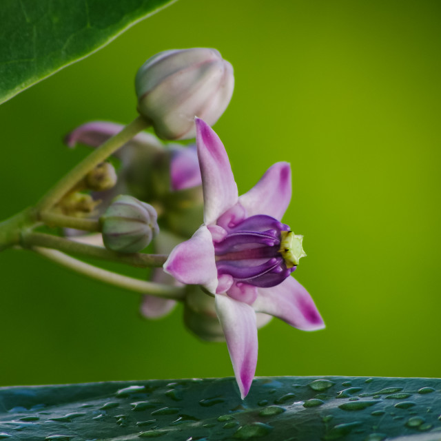 """A great flower of Calotropis gigantea"" stock image"