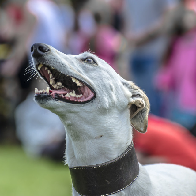 """grey hound"" stock image"