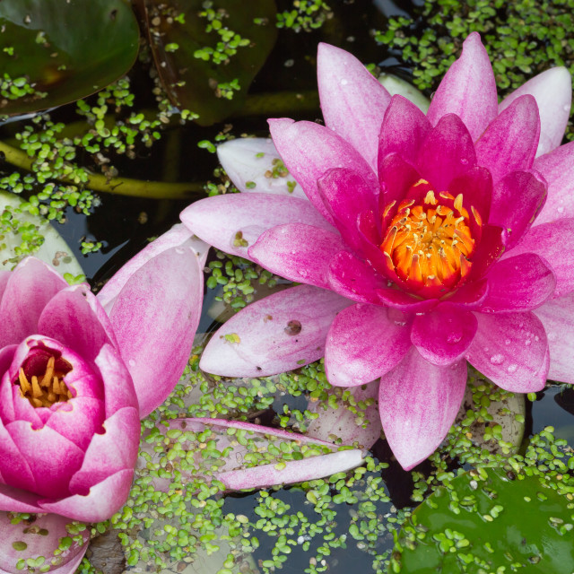 """""""Waterlily"""" stock image"""