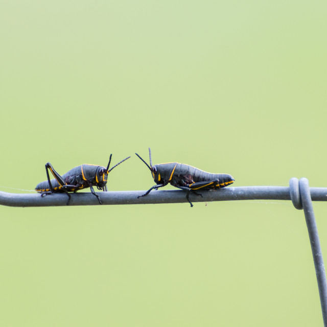 """Two grasshoppers in a challenge"" stock image"