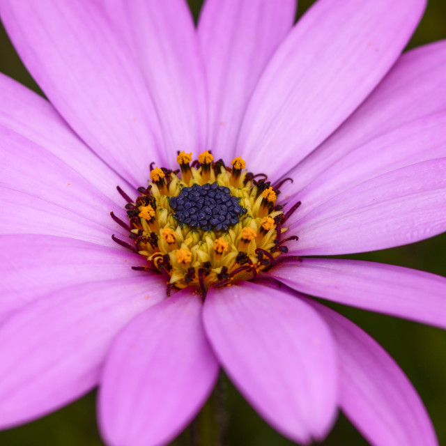 """Cape daisy flower"" stock image"