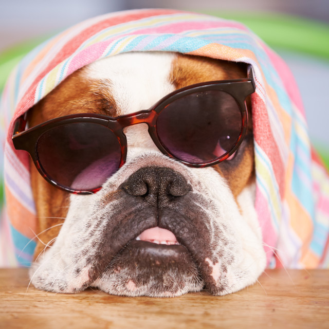"""Sad Looking British Bulldog Wearing Sunglasses And Headscarf"" stock image"