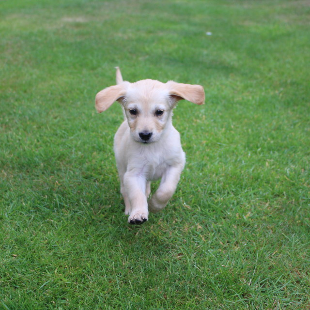"""Running Puppy"" stock image"