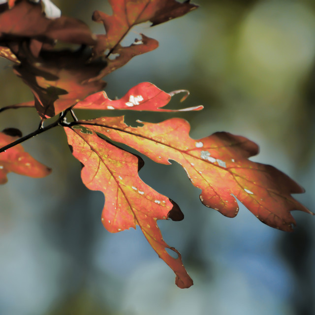 """Oak Leaves in Autumn"" stock image"