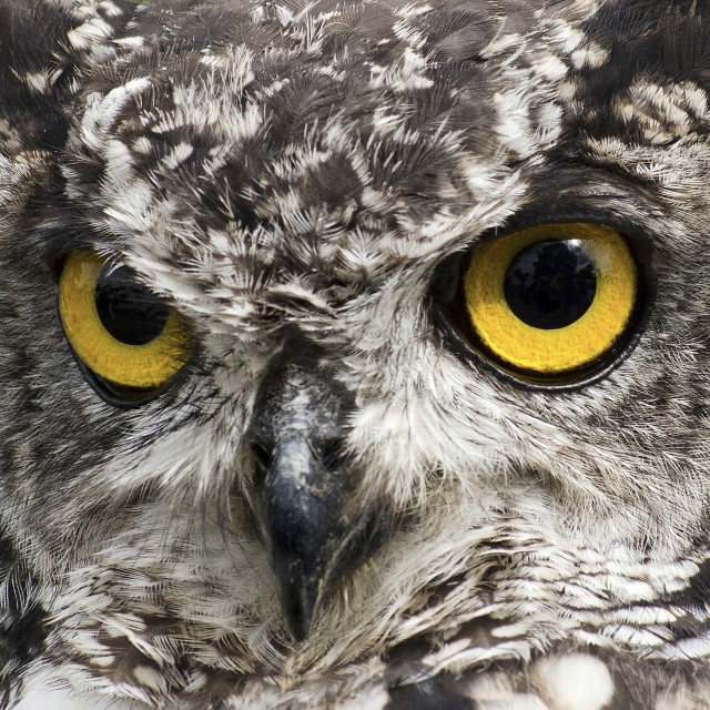 """""""African Spotted Eagle Owl"""" stock image"""