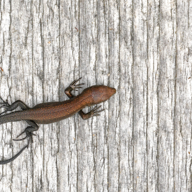 """Baby Viviparous Lizard"" stock image"