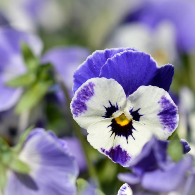 """""""Pansy Passion"""" stock image"""