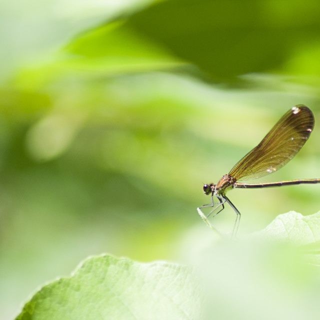"""""""Brown dragonfly on a green leaf"""" stock image"""