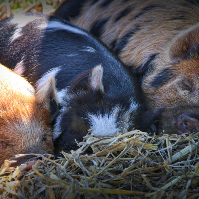 """Sleeping Piglets"" stock image"