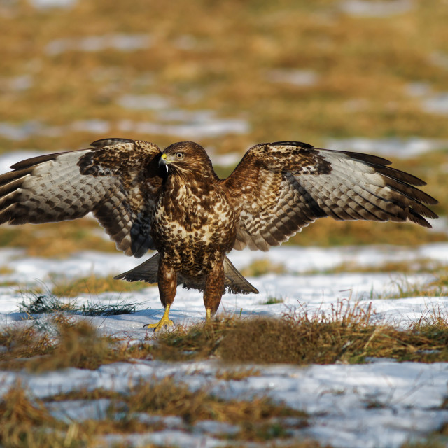 """Common buzzard with spread wings"" stock image"
