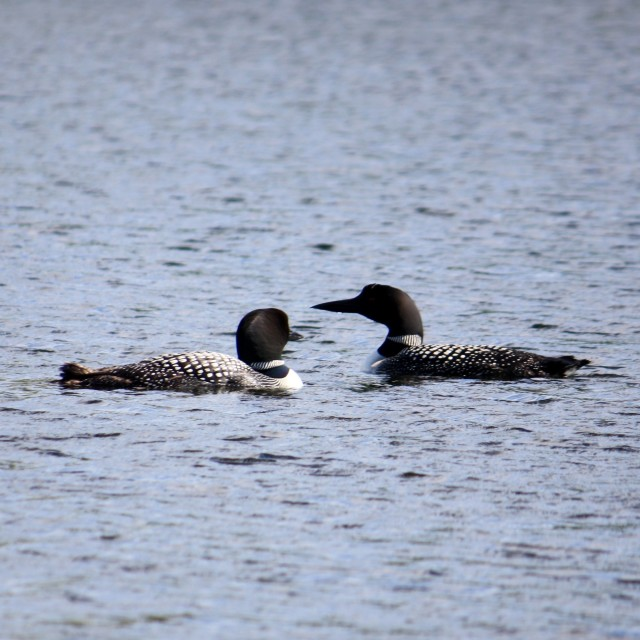 """""""Loons"""" stock image"""