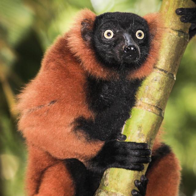 """Red Ruffed Lemur"" stock image"