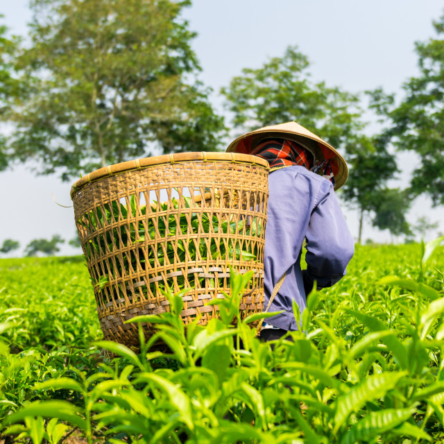 """Women with conical hat working on green tea plantation, Bao Loc, Lam Dong, Vietnam"" stock image"