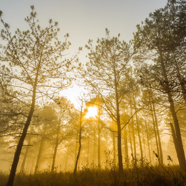 """Golden sunrise - low angle view from forest of Da Lat, Lam Dong, Vietnam."" stock image"