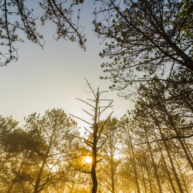 """""""Golden sunrise - low angle view from forest of Da Lat, Lam Dong, Vietnam."""" stock image"""