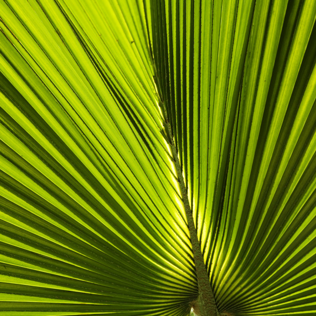 """Green Palm leaf"" stock image"
