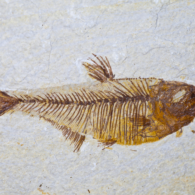 """fossil skeleton of prehistoric fish"" stock image"