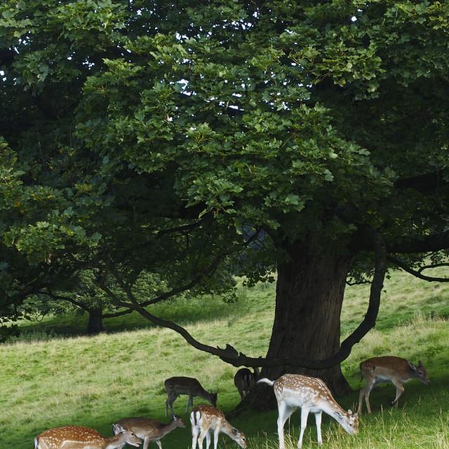 """Fallow deer"" stock image"