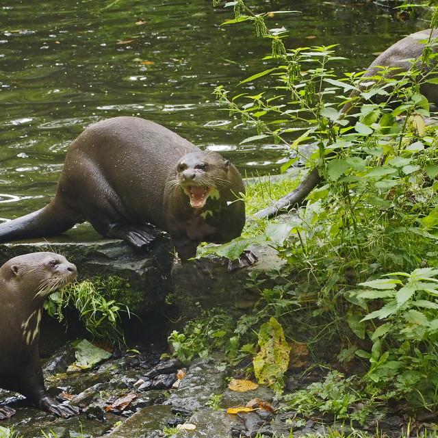 """Giant Otter"" stock image"