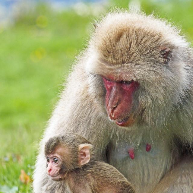 """""""Snow Monkey"""" stock image"""