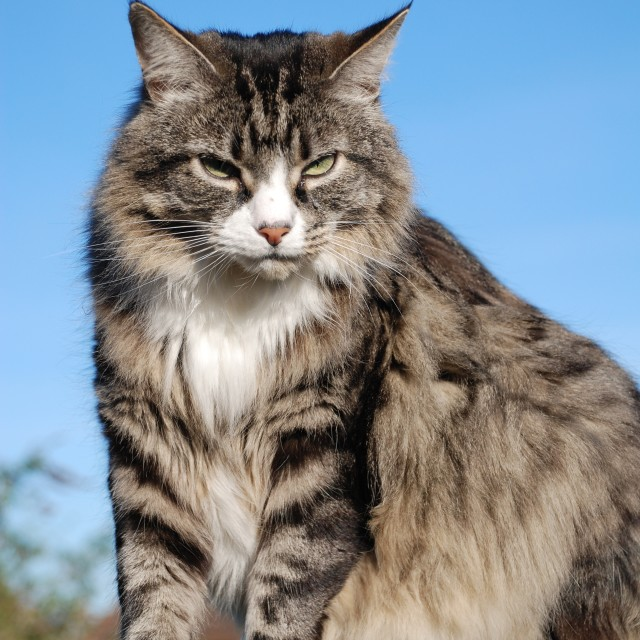 """Glaring tabby cat"" stock image"