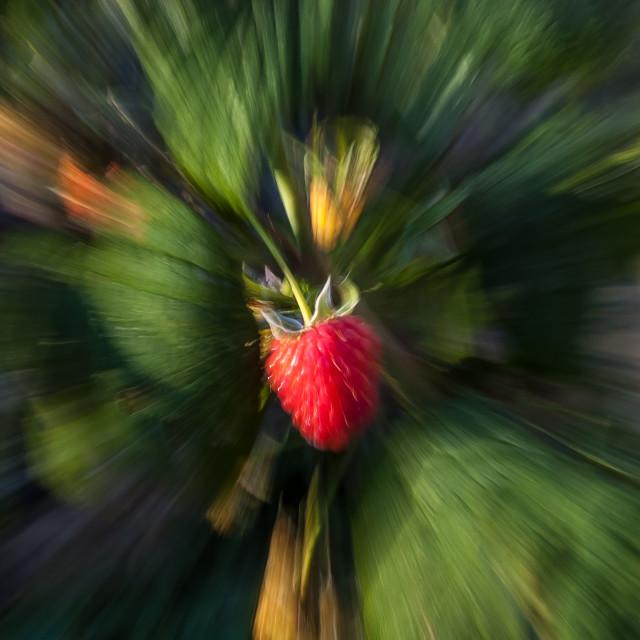 """Raspberry Fruit Burst"" stock image"
