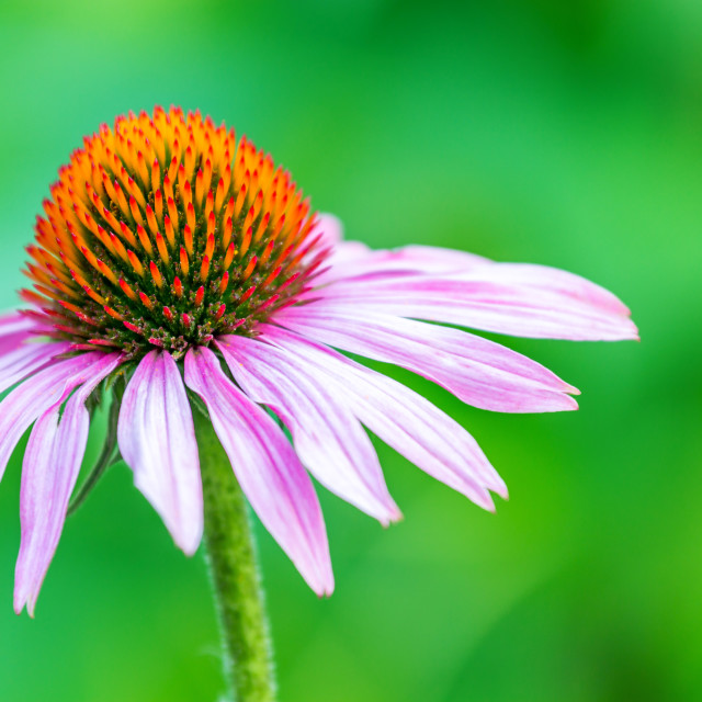 """beautiful echinacea"" stock image"