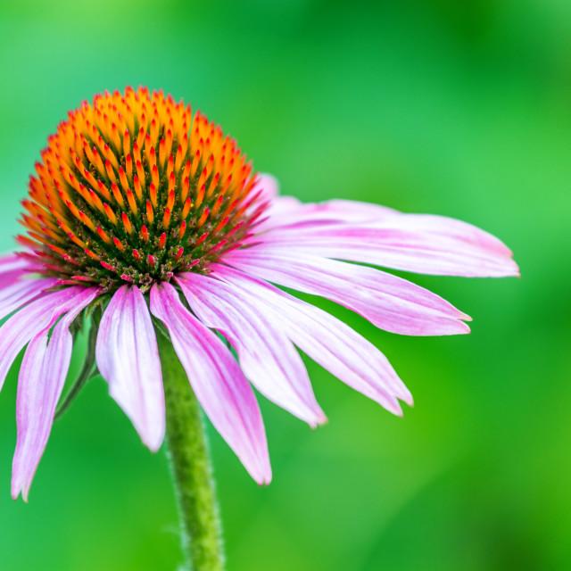 """beautiful echinacea"" stock image"