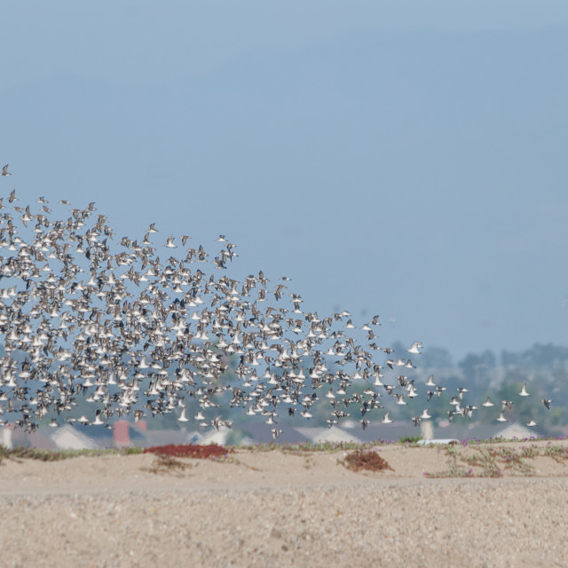 """Flock of Birds"" stock image"
