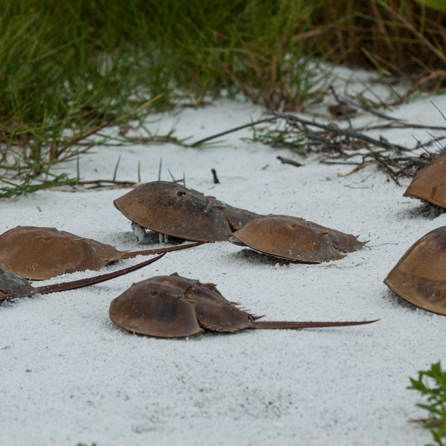 """Horseshoe Crabs"" stock image"