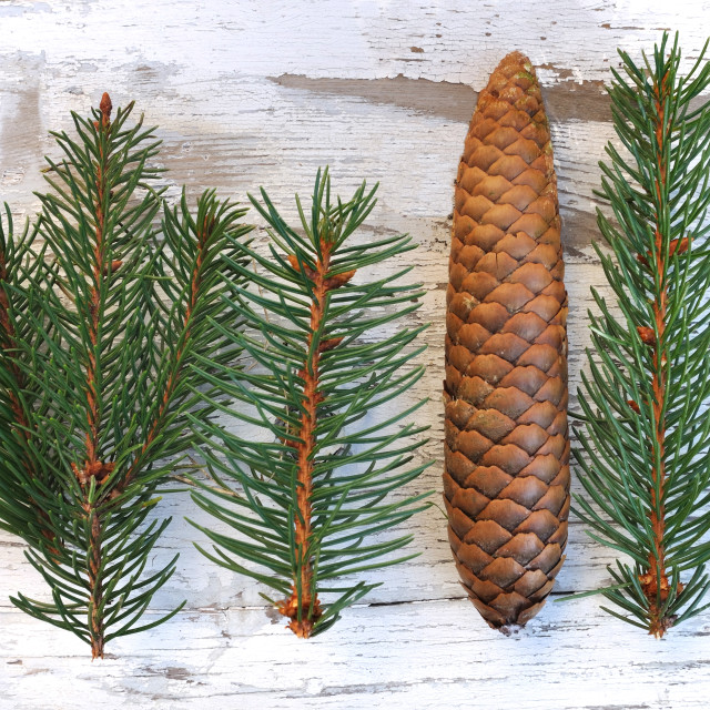 """fir and pine cones"" stock image"