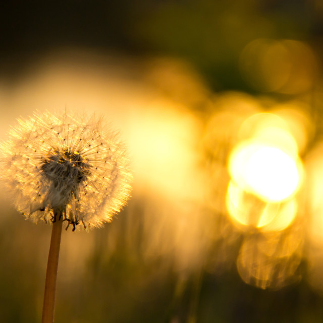"""""""background with dandelion"""" stock image"""