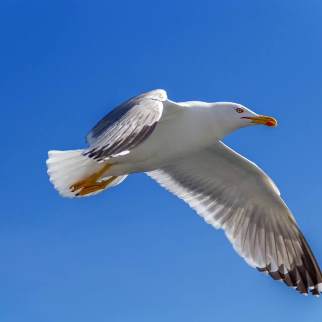 """seagull flies against the blue sky"" stock image"