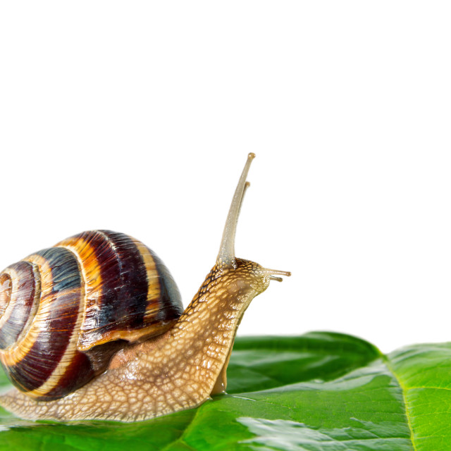 """snail isolated on white background"" stock image"