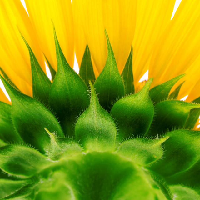 """Sunflower isolated on white background"" stock image"