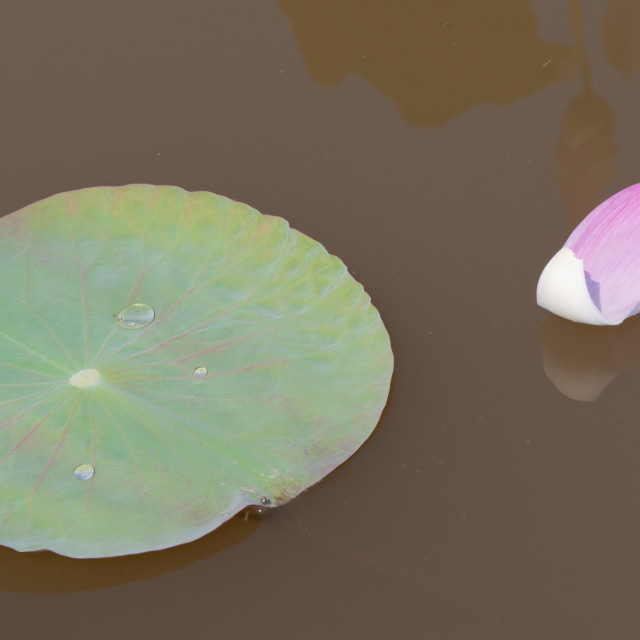"""""""Lotus flower petals on the pond"""" stock image"""