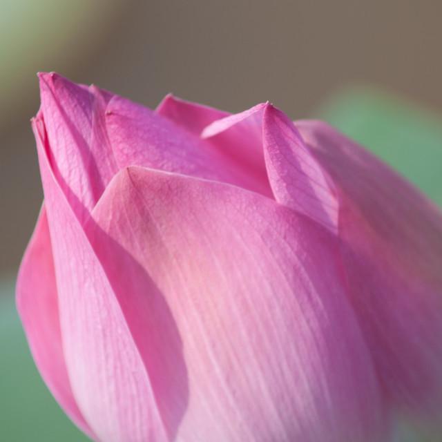 """Lotus flower and Lotus flower plants"" stock image"