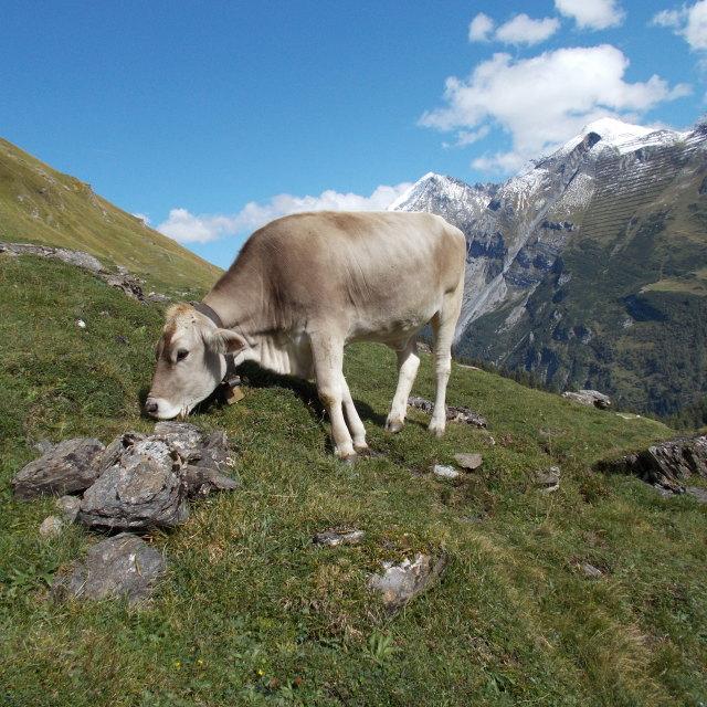 """""""Scenic cow"""" stock image"""