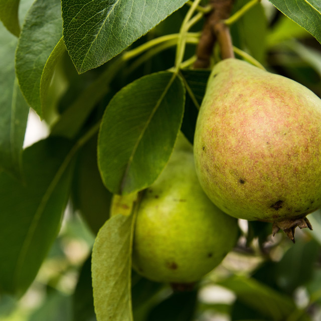 """""""Pear"""" stock image"""
