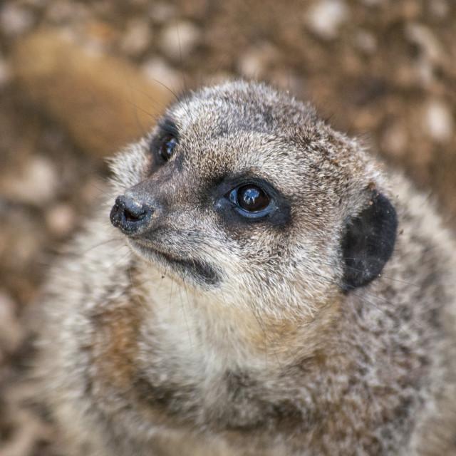 """Cute Meerkat"" stock image"