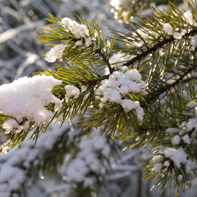 """Pine"" stock image"