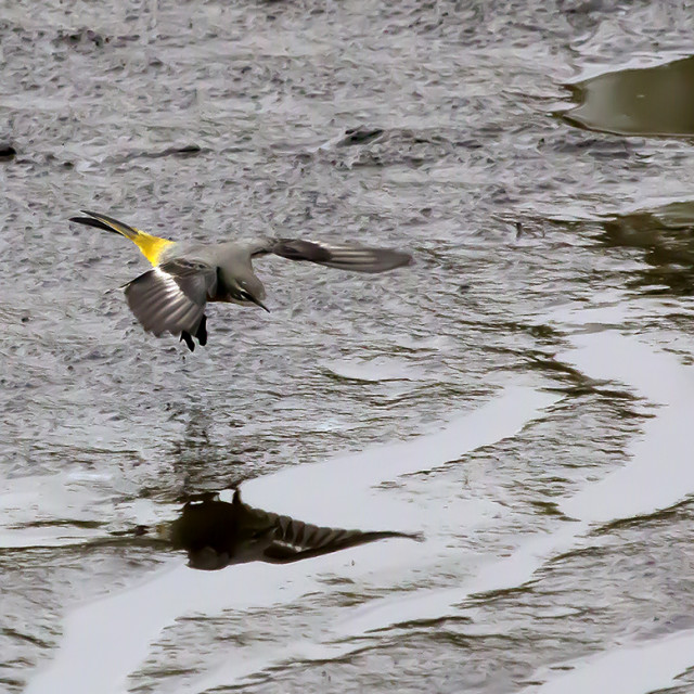 """Grey Wagtail in Flight."" stock image"