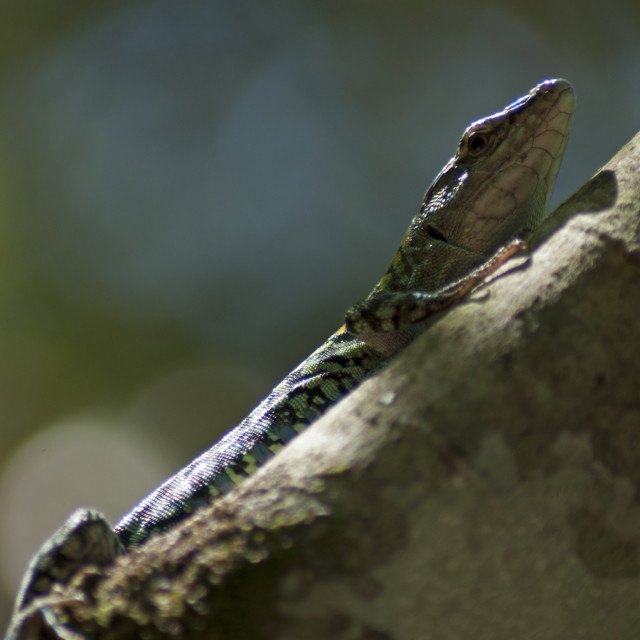 """Lizard on a trunk"" stock image"