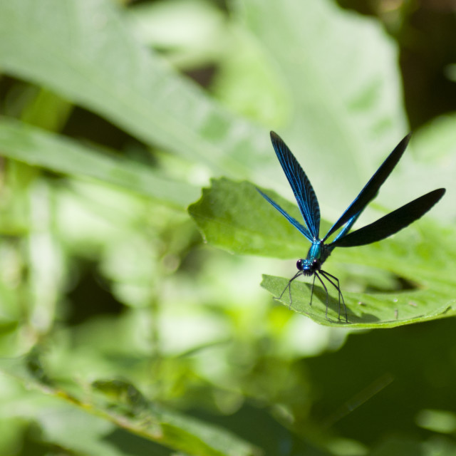 """""""Blue dragonfly with open wings"""" stock image"""