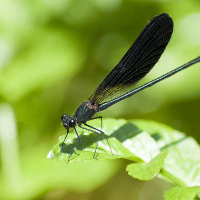"""""""Black dragonfly on a green leaf"""" stock image"""