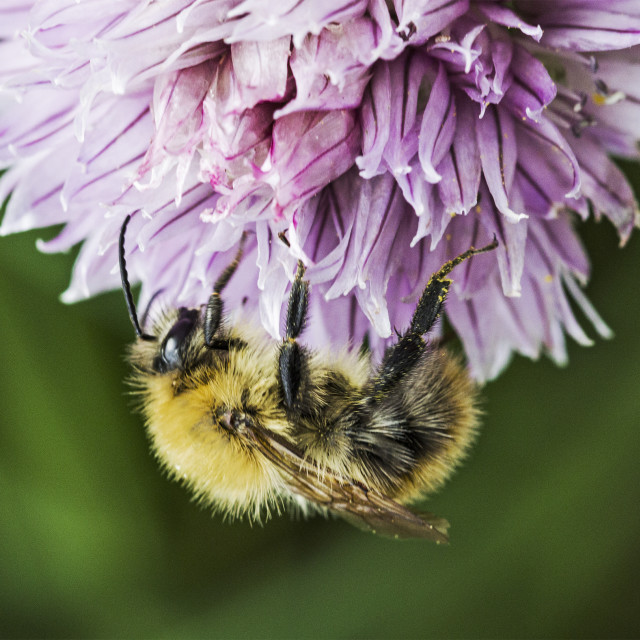 """Worker bee on Chive"" stock image"